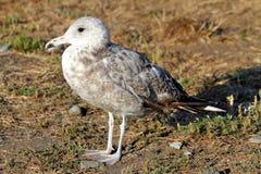 California Gull (Larus californicus) Royalty Free Stock Photography