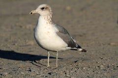 California Gull (Larus californicus) Royalty Free Stock Image