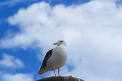 California Gull (Larus californicus) at the beach. California Gull (Larus californicus) perched on a light at the beach near Pacific Ocean Royalty Free Stock Photography