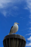 California Gull (Larus californicus) at the beach. California Gull (Larus californicus) perched on a light at the beach near Pacific Ocean Stock Images