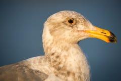 California Gull, Larus californicus Royalty Free Stock Photos