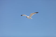 California Gull (Larus californicus). Flies over the beach near Pacific Ocean, Southern California, United States, dropping muscles to eat Stock Images