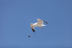 California Gull (Larus californicus). Flies over the beach near Pacific Ocean, Southern California, United States, dropping muscles to eat Royalty Free Stock Photos