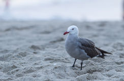 California Gull (Larus californicus). Standing at the beach near Pacific Ocean Stock Images