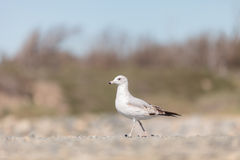 California Gull (Larus californicus) Stock Photo