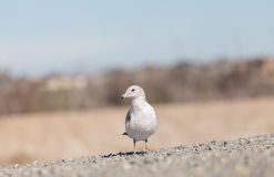California Gull (Larus californicus) Stock Image