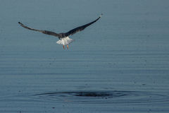 California Gull lifts off from the Salton Sea Stock Images