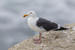 California Gull perched on a cliff next to the Pacific Ocean - S Stock Photos
