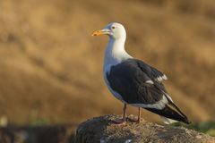 California Gull perched on a cliff - San Diego, California Stock Photo