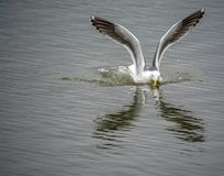 California Gull Reflections royalty free stock photo