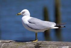 California Gull stock photography
