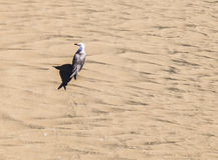 California gull walking at the beach Royalty Free Stock Photo