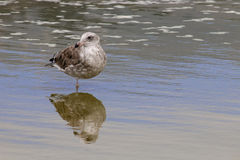 The California Gull on the Water at Malibu Beach in August Stock Photo