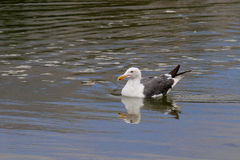 The California Gull on the Water at Malibu Beach in August. (Bird Stock Photo