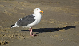 California Gull (Larus californicus) at Crystal Cove State Park, Southern  California. Stock Photos