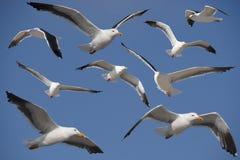 California Gulls Stock Photos