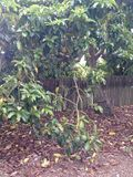 The California Haas avocado, truly hand grown, in California , 1. stock photo