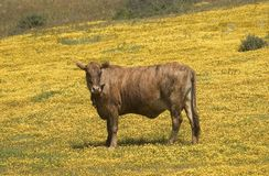 California 'Happy' Cow. Cow in pasture in California filled with spring flowers. A California 'Happy' Cow as the cheese commercials claim Stock Photo