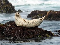 California harbor seal on rock,big sur, california Stock Images