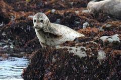California harbor seal on rock,big sur, california royalty free stock photos