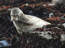 California harbor seal on rock,big sur, california Royalty Free Stock Image