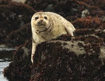 California harbor seal on rock,big sur, california Stock Photos