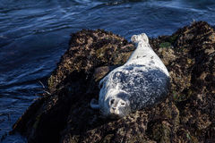 California Harbor Seal on Rocks Stock Photos