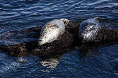 California Harbor Seals on Rocks in Monterey Royalty Free Stock Photography