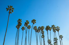 California high palms on the blue sky background Royalty Free Stock Photo