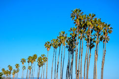 California high palms on the blue sky background Royalty Free Stock Photography