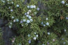 California juniper berries on tree stock photos