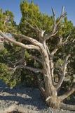 California Juniper at Red Rock Canyon Stock Image