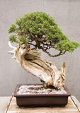 California Juniper Miniature Bonsai Tree Stock Photography