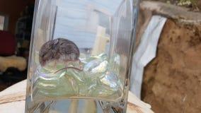 California Kangaroo Rat Baby Sleeping in Glass. Vase with Rainbow Pebbles Stock Image