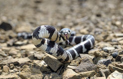 California King snake Royalty Free Stock Images