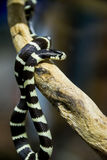 California king snake Royalty Free Stock Image