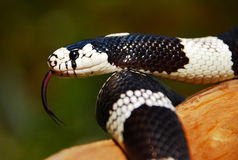 California King Snake w/tongue. California King Snake slithering on a branch with tongue extended Stock Photography