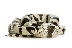 California Kingsnake Stock Photos