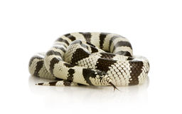 California Kingsnake Royalty Free Stock Photography