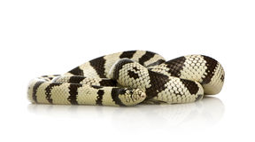California Kingsnake Stock Image