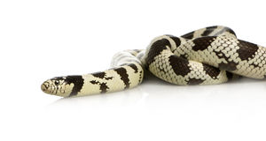 California Kingsnake Stock Photo