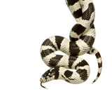California Kingsnake Royalty Free Stock Photo