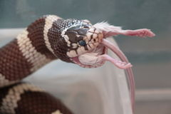 California kingsnake eating a mouse Royalty Free Stock Photo