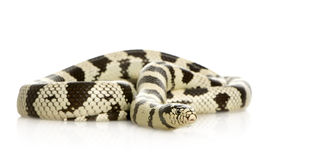California Kingsnake - Lampropeltis getulus califo Stock Photo