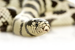 California Kingsnake - Lampropeltis getulus califo Royalty Free Stock Photo
