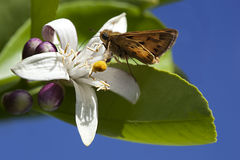 California Lemon Blossom With Butterfly Royalty Free Stock Photo