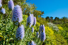 California lilac flowers bush in sunny summer day in botanic garden Stock Image