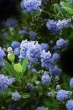 California Lilac II Royalty Free Stock Photography
