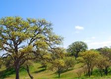California Live Oak Fotografia Stock Libera da Diritti