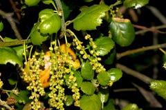 Free California Live Oak, Coast Live Oak, Quercus Agrifolia Stock Photo - 150454270